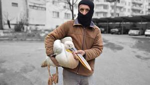Yaralı pelikanı tilkinin elinden kurtardı