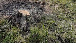 İzinsiz kesilen 600 zeytin ağacı için 110 bin lira para cezası