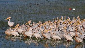 Göç eden pelikanlar Manyas Kuş Cennetinde görüntülendi