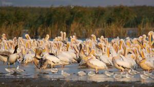 Afrikadan göçen pelikanlar, Karacabey ve Manyasta mola verdi