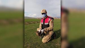 Karantina nöbetindeki jandarma yaralı kızıl şahin buldu