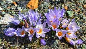 Kocaeli'de bulunan yeni çiğdem türü, Keltepe Çiğdemi olarak litaratüre girdi