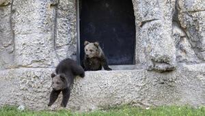 Yavru boz ayılar, doğa parkının maskotu oldu