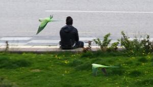 Başkent sokakları papağanlara kaldı