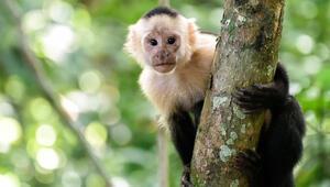 Bilim insanları: Koronavirüs ilaçları Java maymunlarında test edilebilir