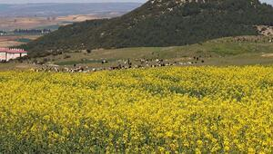 Trakyada kanola, tarlaları sarıya boyadı