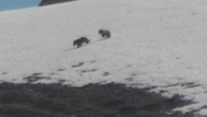 Mercan Vadisinde boz ayılar görüntülendi