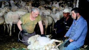 Yenişehirde koyun kırkımına başlandı
