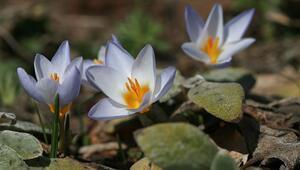 Keşfettiği endemik bitki türü Keltepe Çiğdemi adıyla literatüre girdi