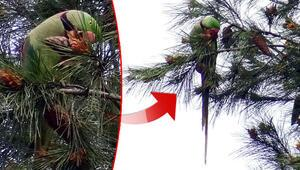 İstanbulda ağaçları mesken tutan İskender papağanı şaşkınlık yarattı