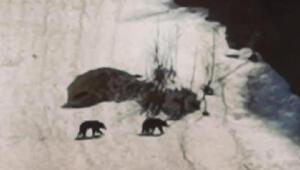 Boz ayılar Ayder Yaylası'nda
