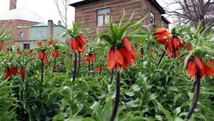 Vanda çiçek açan ters lalelere, koronavirüs nedeniyle ziyaretçi gelemiyor