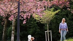 Ankaranın Japon Yolu bu yıl da rengârenk