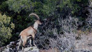 Toros Dağlarındaki yaban keçileri dronla görüntülendi