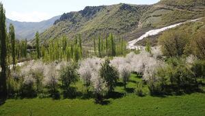 Şırnakta çiçek açan elma ağaçları kartpostallık görüntüler oluşturdu