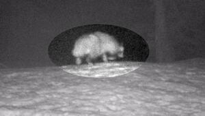 Son dakika haberi: Rakun köpeği Türkiye'de ilk kez görüntülendi Covid-19u insana geçiren tür olabilir