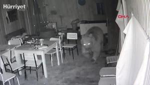 Trabzonda alabalık tesisine dadanan ayı kamerada