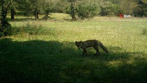 Korona günlerinde hayvanlar alemi kamerada