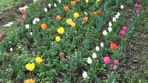 Kadın çiftçilerin ektiği laleler çiçek açtı