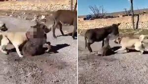 Sokak köpeğini 2 kangal köpeğiyle dövüştürüp, sosyal medyada paylaştılar
