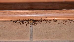 Havalar ısındı karıncalara dikkat Çıktıkları yerlere biraz serperseniz...