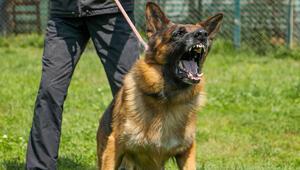 Köpekler için dikkat çeken çağrı: Koronavirüslü hastayı tespit edebilirler…