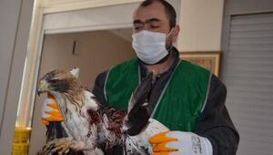 Bünyan Belediyesi, yaralı şahine sahip çıktı