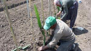 Osmaniyede, tropik meyve pitaya dikimi yapıldı