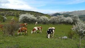 Posof'ta bahar bir başka güzel