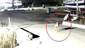 Kümese dadanan kurt güvenlik kamerasına yansıdı