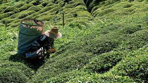 Çay üreticileri nasıl izin belgesi alacak Bakanlık detayları açıkladı