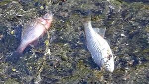 Düzcede korkutan görüntü Ölü balıklar...