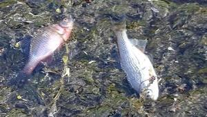 Düzce'de yaşanan balık ölümleri paniğe neden oldu