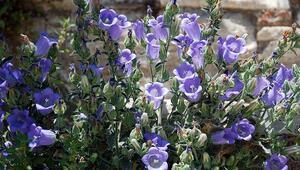 Tüylü Çan Çiçeği nerelerde yetişiyor Tüylü Çan Çiçeği faydaları neler, nelerde  kullanılıyor