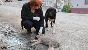 Artvin'de bir sokak köpeği, otomobilin çarpması sonucu ölen yavrusunun başından saatlerce ayrılmadı.