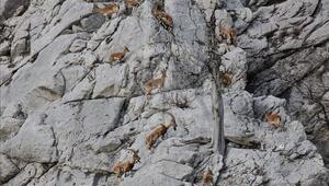 Giden Gelmez Dağlarındaki keçiler koruma altında