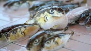 Bu balığı yiyen 3 kişi hastaneye kaldırıldı Ateşim çıktı, ayaklarım tutmadı