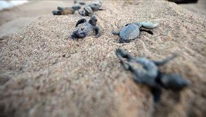 Hindistanda koronavirüs, türüne az rastlanan kaplumbağalara yaradı