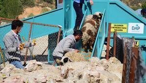 Koyunların banyo keyfi
