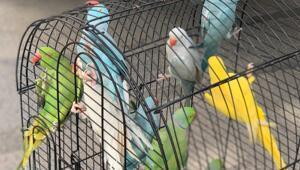 Kartalda kaçak getirilen Jako ve Pakistan papağanları ele geçirildi