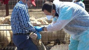 Kırklarelinde küçükbaş hayvanlara brucella aşısı yapıldı