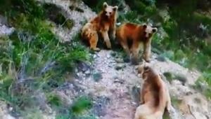 Erzurumda boz ayılar böyle görüntülendi