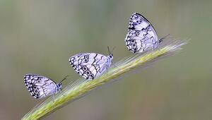 Kelebek etkisi nedir Edward N. Lorenzin meşhur kelebek etkisi örneği