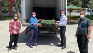 Düziçinde çiftçilere 73 bin adet domates fidesi dağıtıldı