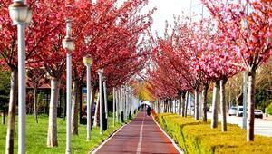 Kyotoyla kardeş şehir olan Konyadaki parklarda yüzlerce sakura ağacı var