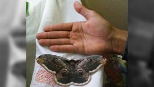 Görenler gözlerine inanamıyor 16 santimetrelik kelebek