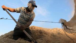 Türkiyenin ilk buğday hasadı Dalaman TİGEMde başladı