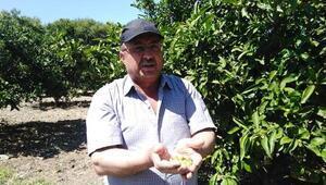 Sıcak havalar mandalina ağaçlarında zarara neden oldu
