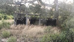 Mersinden çalınan 5 keçi, Karamana götürülerek kesildi