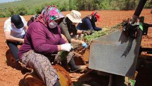 Beyşehirde kadın eliyle kekik üretiliyor